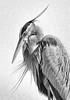 Plume Shadows - Great Blue Heron