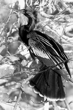 Male Anhinga Portrait - Breeding Plumage