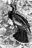 Male Anhinga Portrait - Breeding Plumage