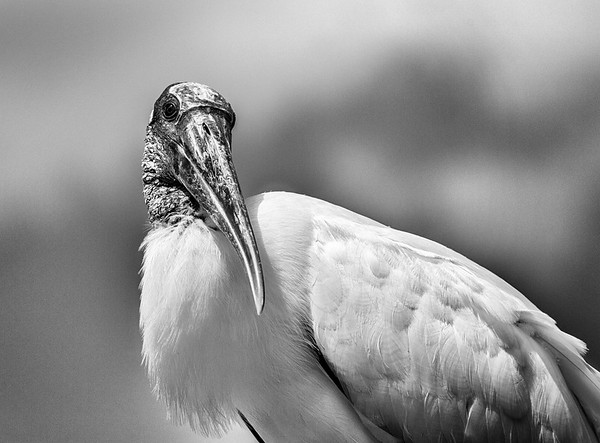 Black and white portrait of an adult Wood stork (Mycteria americana)  with a rather inquisitive expression.