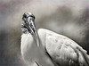 Wood Stork (Mycteria americana) Portrait with a toned, textured background