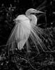 White Egret -Wind Tossed Aigrettes-6065