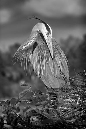 Great Blue Heron Preen Portrait - 3022