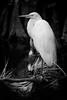 Great White Egret - Cypress Swamp 0713