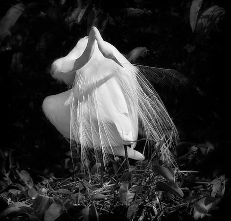 White Egret-Sinuous Preen-4572