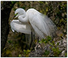 Egret in breeding mode