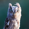 Juvenile (8 weeks old) Eastern Screech Owl
