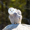 Young female Snowy Owl
