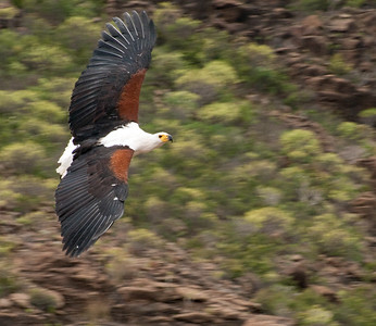 Free Flight, African Fish Eagle, Palmitos Park, Grand Canary