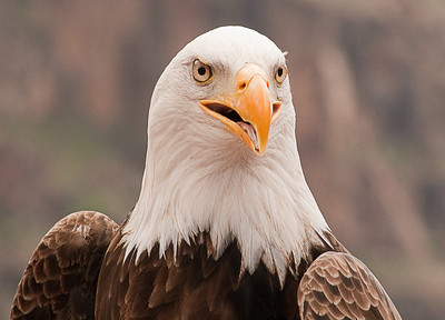American Bald Eagle, Palmitos Park, Grand Canary