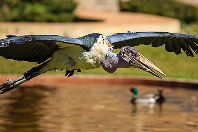 Marabou Stork (Leptoptillos Crumeniferus)