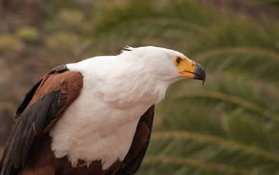African Fish Eagle, Palmitos Park, Grand Canary