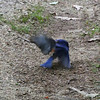 Bluebird turf battle