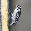 Downey Woodpecker male eating suet