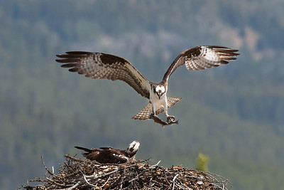 Osprey with fish, Banff Alberta Grand Prize winner, Alberta Institute for Wildlife Conservation photo contest