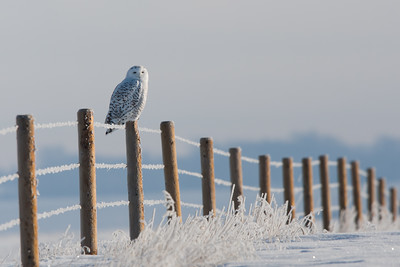 Snowy owl, east of Calgary Winner, 2013 Calgary Stampede Western Landscape and Wildlife Competition
