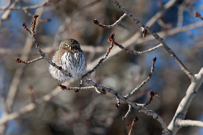 Northern Pygmy Owl, Fish Creek Provincial Park, Calgary Alberta