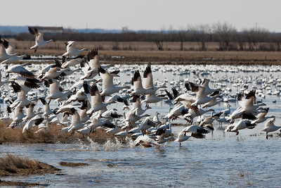 Snow Geese, in their spring migration through Alberta