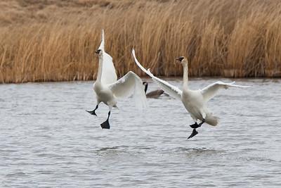 Trumpeter Swans, Alberta