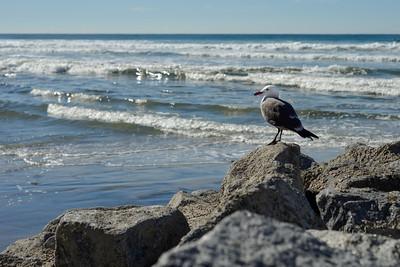Common Seagull Torrey Pines Beach
