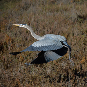 Great Blue Heron Torrey Pines State Reserve