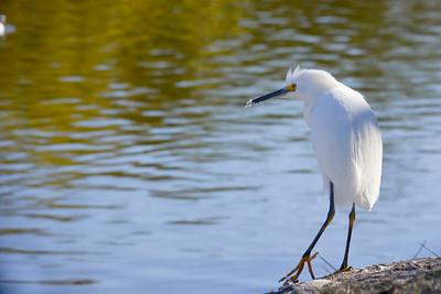 Snowy Egret  Santee lakes