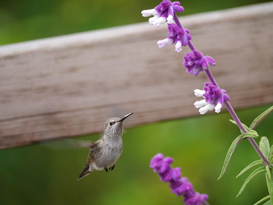 Hummingbird, Anna's -photo 7