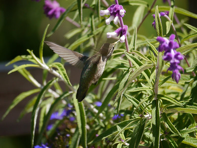 Hummingbird, Anna's -photo 8