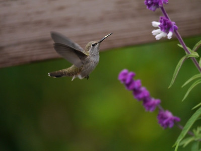 Hummingbird, Anna's -photo 6