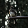 Black Phoebe -photo 1