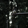 Black Phoebe -photo 2