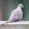 Dove, Mourning photo 4