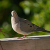 Dove, Mourning -photo 4