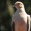 Dove, Mourning photo 2