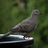 Dove, Mourning -photo 3