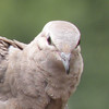 Dove, Mourning photo 3