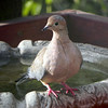 Dove, Mourning -photo 1