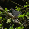 Pigeon, Band-tailed -photo 5