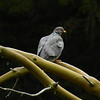Pigeon, Band-tailed -photo 4