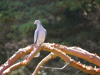 Pigeon, Band-tailed -photo 2