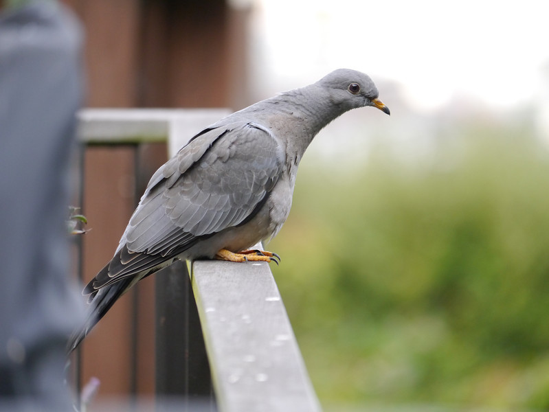 Pigeon, Band-tailed -photo 1