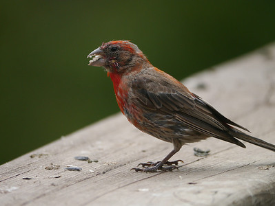 Finch, House, male -photo 1