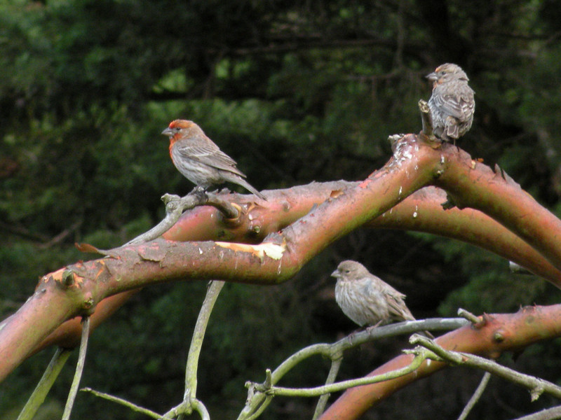 Finch, House, male and female -photo 1