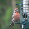 Finch, House, male