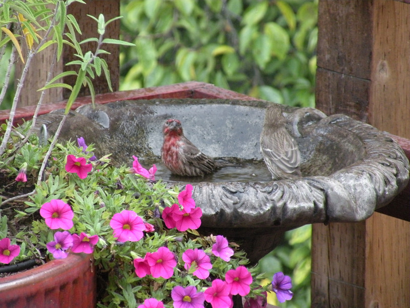 Finch, House, male and female -photo 2
