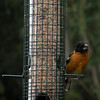 Grosbeak, Black-Headed, male - photo 1