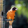 Grosbeak, Black-headed -photo 2