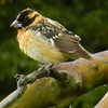 Grosbeak, Black-headed -photo 3