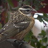 Grosbeak, Black-headed, female