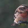 Grosbeak, Rose-breasted, juvenile male (a vagrant from the East.)